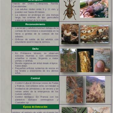 Gorgojo de la Corteza del Pino (Pissodes castaneus)
