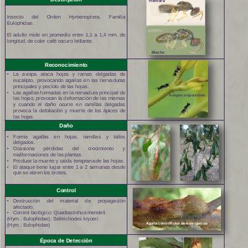 Micro avispa formadora de agallas del Eucalypto (Leptocybe invasa)